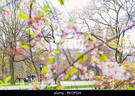Hansom Cab Spring blossoms in Central Park, New York City. - Stock Photo