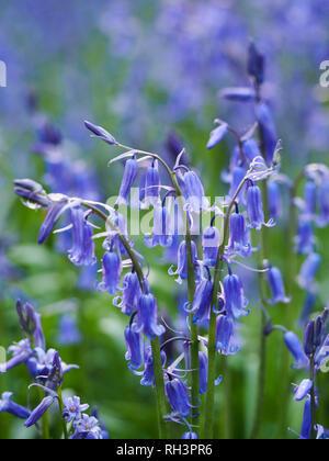 Macro of a clump of wild English bluebells in natural woodland in Hertfordshire.Hyacinthoides non-scripta close-up portrait view.