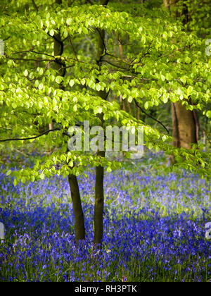 Beautiful fresh young beech trees in a carpet of bluebells in Spring woodland.. Bright green leaves and fresh English Bluebells in fine weather. - Stock Photo