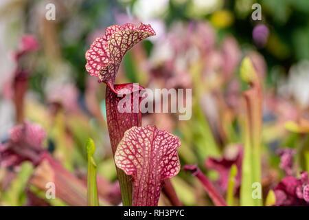 Carnivorous aquatic plants growing in pond - Stock Photo