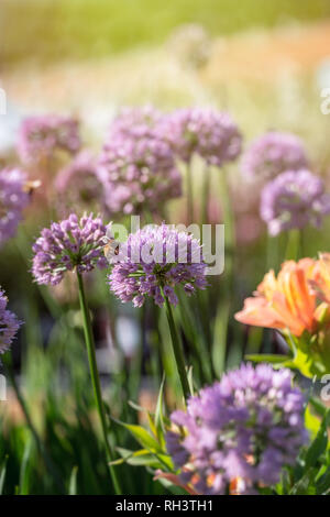 Allium 'Pink Planet' blooming - Stock Photo