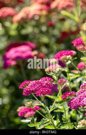 Yarrow 'Red Velvet' in bloom - Stock Photo