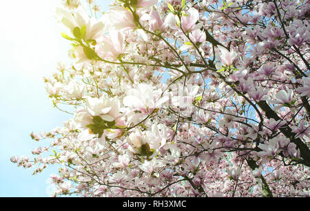 Beautiful Magnolia flowers blossoming in a spring time - low angle view from below - Stock Photo