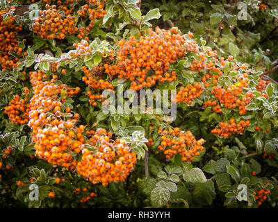 Frost-covered berries on Pyracantha Orange Charmer in an English garden in winter - Stock Photo