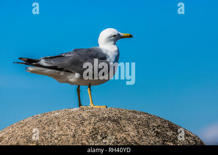 Seagull with gray and white feathers on a stone, wonderful and sunny day with a wonderful blue sky - Stock Photo