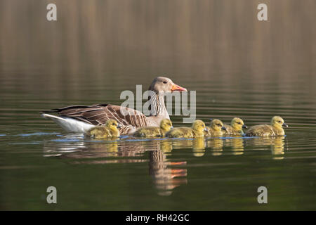 Greylag goose (Anser anser) parent swimming with group of goslings / chicks in lake in spring - Stock Photo