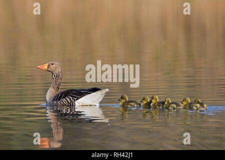 Greylag goose (Anser anser) mother swimming with row of goslings / chicks behind her in lake in spring - Stock Photo