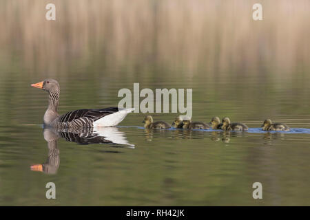 Greylag goose (Anser anser) father swimming with row of goslings / chicks behind him in lake in spring - Stock Photo
