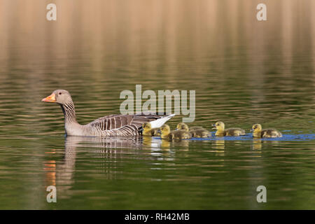 Row of goslings / chicks following greylag goose (Anser anser) parent swimming in lake in spring - Stock Photo