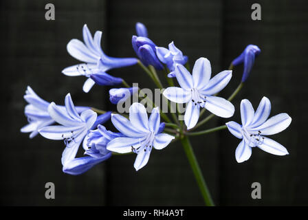 Agapanthus flowers of purply blue and white colouration against a dark background. - Stock Photo