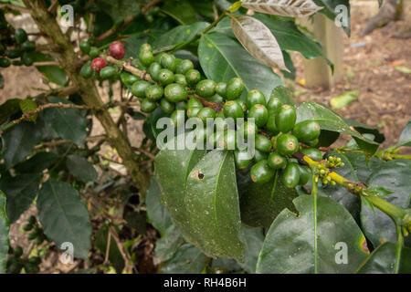Unripe Green Coffee Cherries on a Coffee Bush in Peru - Stock Photo
