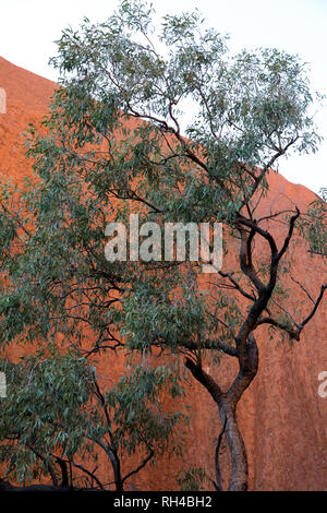 Australian gum tree set against the backdrop of a red rock - Stock Photo