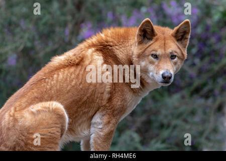 Dingo, Australian native canine (canis lupus dingo) sitting on a rock - Stock Photo