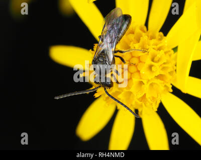 Male sweat bee, Lasioglossum sp. (or, less likely, Halictus sp.), on a flower - Stock Photo