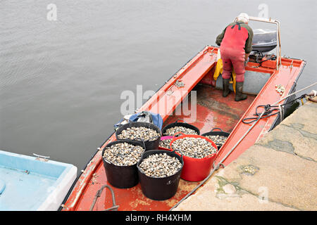 Pails with Fresh clams on fishing boat ready to go to fish market. Rias Baixas, Galicia, Spain - Stock Photo