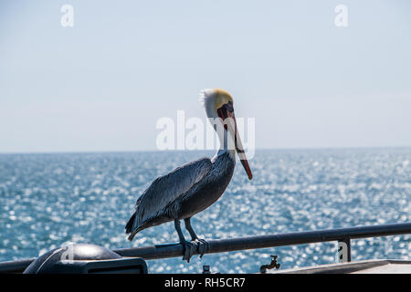 Closeup of large pelican with a long beak standing on a rail with the blue ocean in the background - Stock Photo