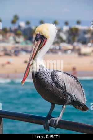 Closeup of large pelican with a long beak standing on a rail with the beach and ocean in the background - Stock Photo