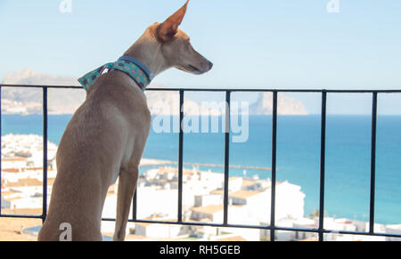 podenco dog looking landscape - Stock Photo