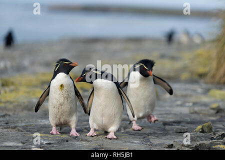 rockhopper penguins eudyptes chrysocome standing front on rocks bleaker island falkland islands - Stock Photo