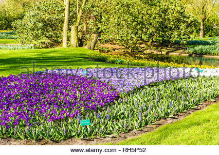 Beautiful view of purple flowers in a park in Lisse the Netherlands Holland, a wonderful sunny day to enjoy nature - Stock Photo