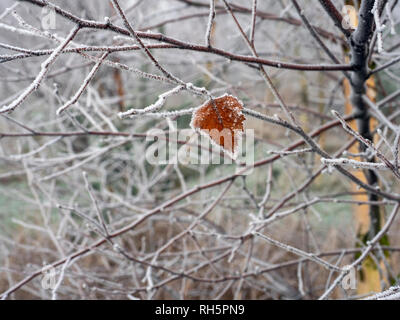 Silver Birch  Betula pendula a single leaf hanging on - Stock Photo