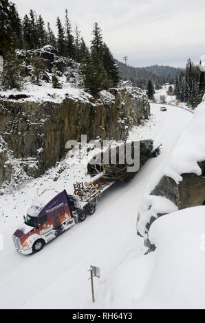 The 2017 Capitol Christmas tree being transported down the Yaak River Road after leaving the Historic Upper Ford Ranger Station. Yaak Valley, Montana. - Stock Photo