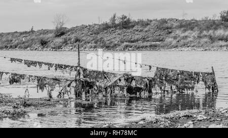 Black and white image of a barbed wire fence with plants and moss stuck in the river Maas between Elsloo and Meers South Limburg in the Netherlands - Stock Photo