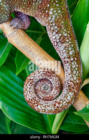 Panther chameleon coiled tail - Furcifer pardalis - Stock Photo