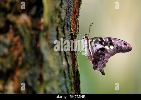 Tailed jay butterfly - Graphium agamemnon - Stock Photo
