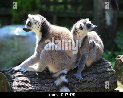 Lemurs at Paradise Wildlife Park, Hertfordshire, England, Britain - Stock Photo