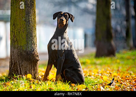 Dobermann pinscher is posing for the camera in an urban flowerbed - Stock Photo