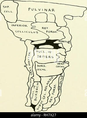 . The brain from ape to man; a contribution to the study of the evolution and development of the human brain. Brain; Evolution; Pongidae. FIG. 93. LATERAL SURFACE OF THE GRAY MATTER OF THE BRAIN STEM, CALLITHRIX JACCHUS. Key to Diagram, dors, cochl.. Dorsal Cochlear Nucleus; inf. olive, Inferior Olive; nucl. of burdach, Nucleus of Burdach; nucl. of deiters, Nucleus of Deiters; pontile, Pontile Nuclei; ret. form.. Reticular Formation; subst. gel. rolando. Substantia Gelatinosa of Rolando; sup. coll., Superior Colliculus; VENT. COCHL., Ventral Cochlear Nucleus. with no continuity with the thahim - Stock Photo