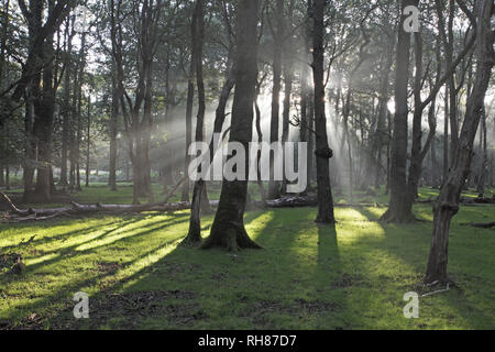 Light rays in mixed deciduous woodland with Oak Quercus robur Beech Fagus sylvatica and Silver birch Betula pendula in Denny Wood New Forest National  - Stock Photo