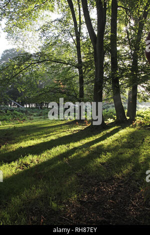 Mixed deciduous woodland with Oak Quercus robur Beech Fagus sylvatica and Silver birch Betula pendula in Denny Wood New Forest National Park Hampshire - Stock Photo