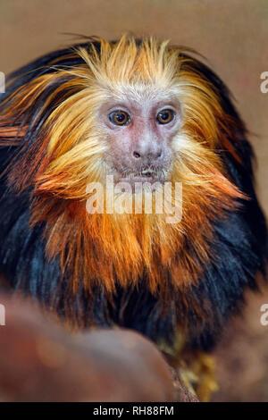 Golden-headed lion tamarin- Leontopithecus chrysomelas - Stock Photo