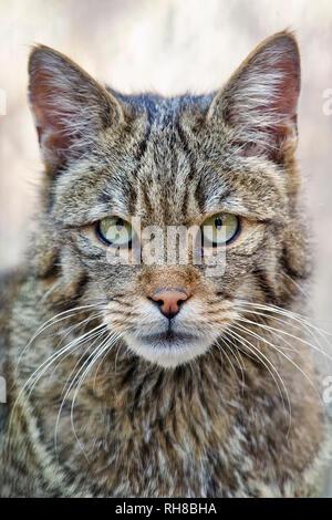 European wildcat - Felis silvestris - Stock Photo