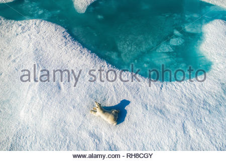 INCREDIBLE AERIAL images have captured 'climate refugee' polar bears hunting and running across the ever shrinking Arctic sea ice. The stunning pictur - Stock Photo