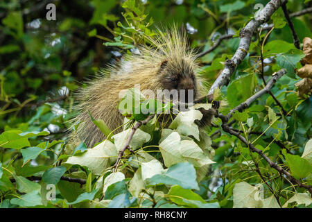 a porcupine in a tree encountered close the the lodge in Glacier Bay National Park - Stock Photo