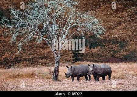 Southern white rhinoceros / Southern square-lipped rhinoceros - Ceratotherium simum simum - Stock Photo