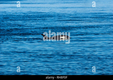 an orca near Telegraph Cove, British Columbia - Stock Photo