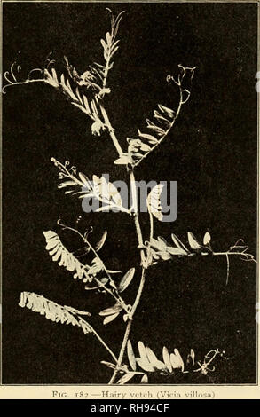 . The botany of crop plants; a text and reference book. Botany, Economic. LEGUMINOSvE 431 native of Europe and Asia. It is much hardier than common vetch, and consequently can be grown at higher latitudes. Moreover, it is more drought-resistant and tolerant of alkali.. Hot summer weather is ery harmful to its growth. It is frequently planted on light, sand- soils, where it nKi- l)c plowed under as a green manure.. Please note that these images are extracted from scanned page images that may have been digitally enhanced for readability - coloration and appearance of these illustrations may n - Stock Photo