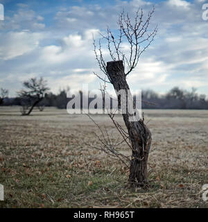Tree cut and left for dead is springing new branches - Stock Photo