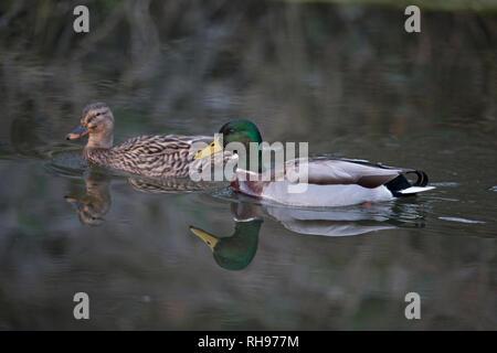 Mallard (Anas platyrhynchos) - Stock Photo