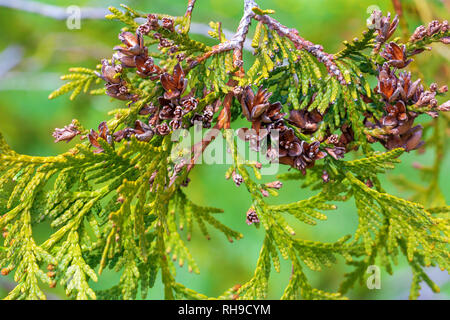 Thuja branch on green background - Stock Photo