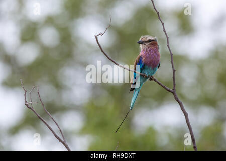 Lilac breasted roller with natural blur background in Kruger National park, South Africa ; Specie Coracias caudatus family of Coraciidae - Stock Photo
