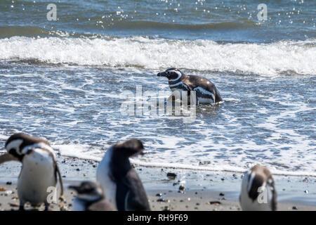 Magellanic penguin at Seno Otway near Punta Arenas - Stock Photo
