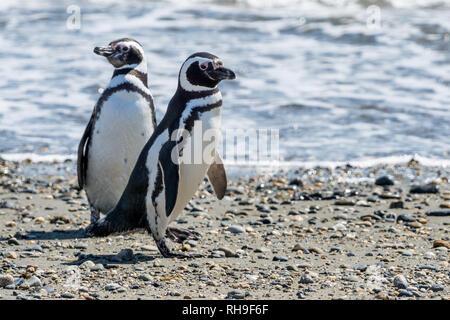 Magellanic penguins at Seno Otway near Punta Arenas - Stock Photo