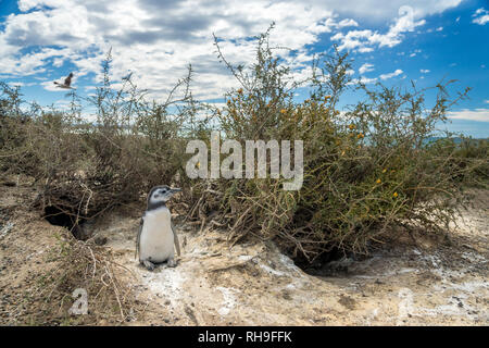 Punta Tombo is a peninsula into the Atlantic Ocean 110 km (68 mi) south of Trelew in Chubut Province, Argentina, where there is a large colony of Mage - Stock Photo