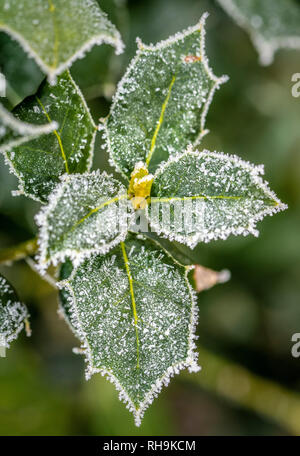Holly leaves covered in frost. - Stock Photo