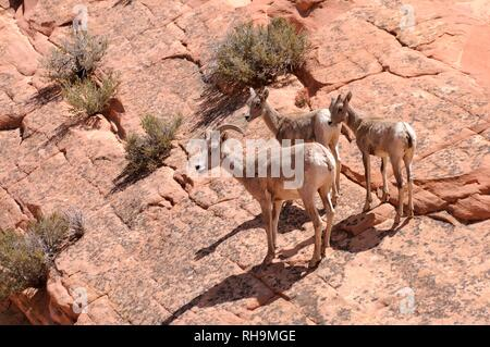 Desert Bighorn Sheep (Ovis canadensis nelsoni), female with two young on sandstone rocks, Zion National Park, Utah - Stock Photo